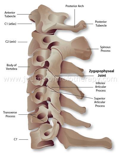 Anatomy of cervical spine vertebrae